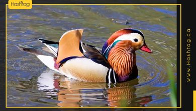 Photo of This Is Without A Doubt The Most Beautiful Duck In The Whole World