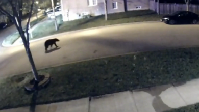 Photo of A black bear was discovered strolling the streets in Markham last night